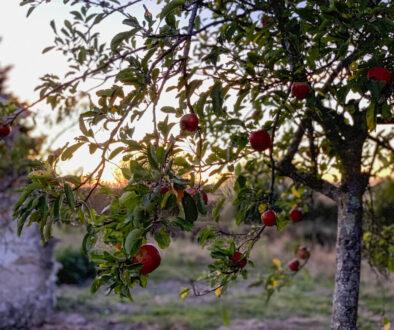 … Aime le goût des recettes oubliées - Gelée de pommes aux épices, un délice